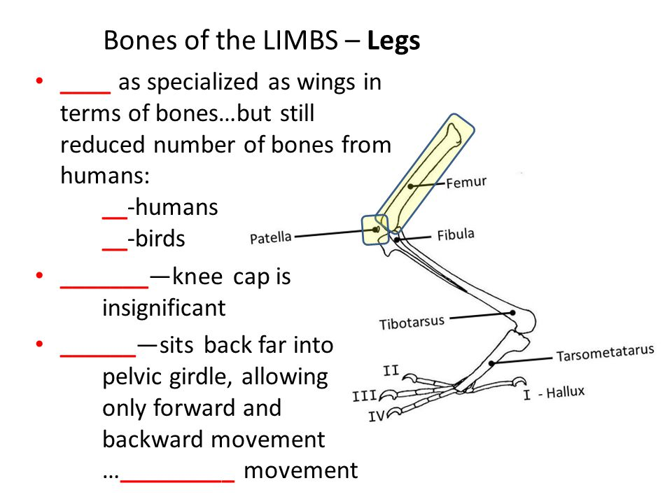 Bones of the LIMBS – Legs ____ as specialized as wings in terms of bones…but still reduced number of bones from humans: __-humans __-birds _______—knee cap is insignificant ______—sits back far into pelvic girdle, allowing only forward and backward movement …_________ movement
