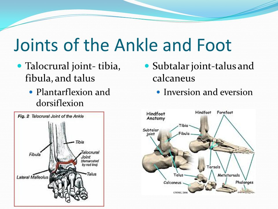 Joints of the Ankle and Foot Talocrural joint- tibia, fibula, and talus Plantarflexion and dorsiflexion Subtalar joint-talus and calcaneus Inversion a