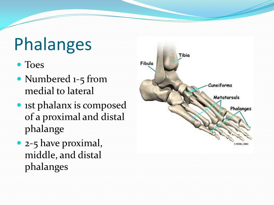 Phalanges Toes Numbered 1-5 from medial to lateral 1st phalanx is composed of a proximal and distal phalange 2-5 have proximal, middle, and distal pha