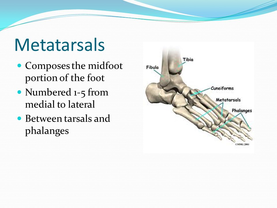 Metatarsals Composes the midfoot portion of the foot Numbered 1-5 from medial to lateral Between tarsals and phalanges