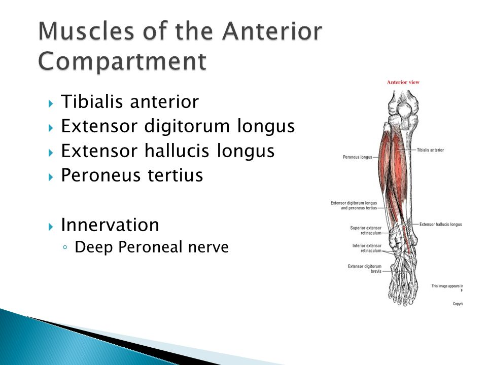  Tibialis anterior  Extensor digitorum longus  Extensor hallucis longus  Peroneus tertius  Innervation ◦ Deep Peroneal nerve
