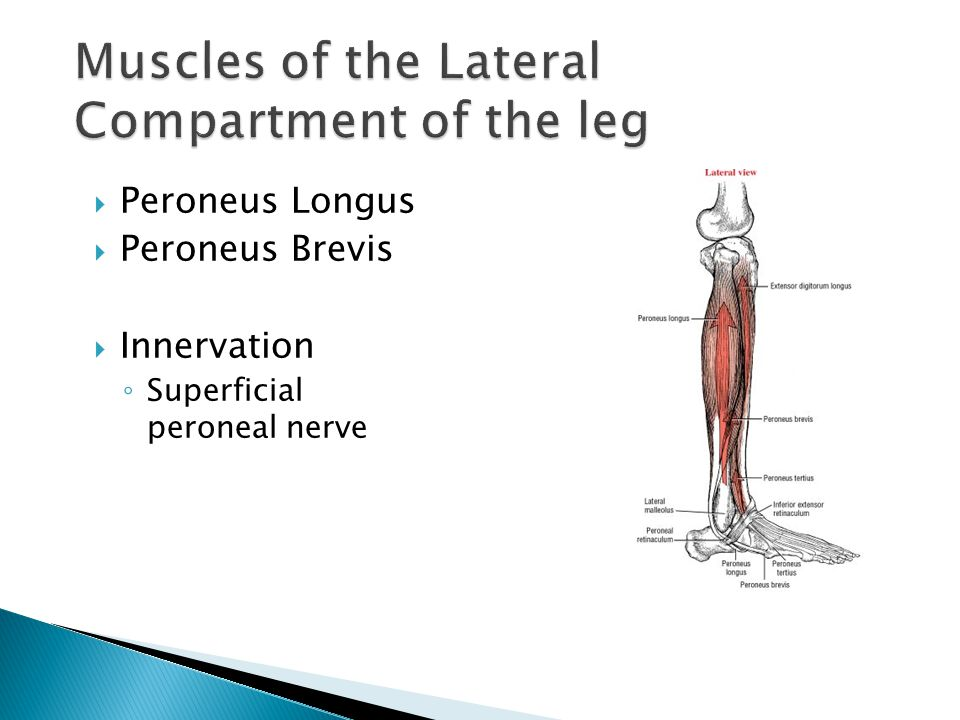  Peroneus Longus  Peroneus Brevis  Innervation ◦ Superficial peroneal nerve