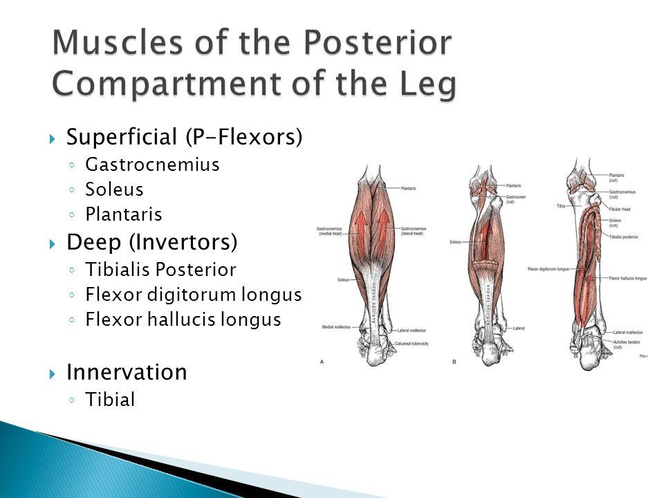  Superficial (P-Flexors) ◦ Gastrocnemius ◦ Soleus ◦ Plantaris  Deep (Invertors) ◦ Tibialis Posterior ◦ Flexor digitorum longus ◦ Flexor hallucis lon