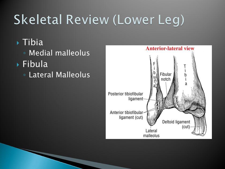  Tibia ◦ Medial malleolus  Fibula ◦ Lateral Malleolus