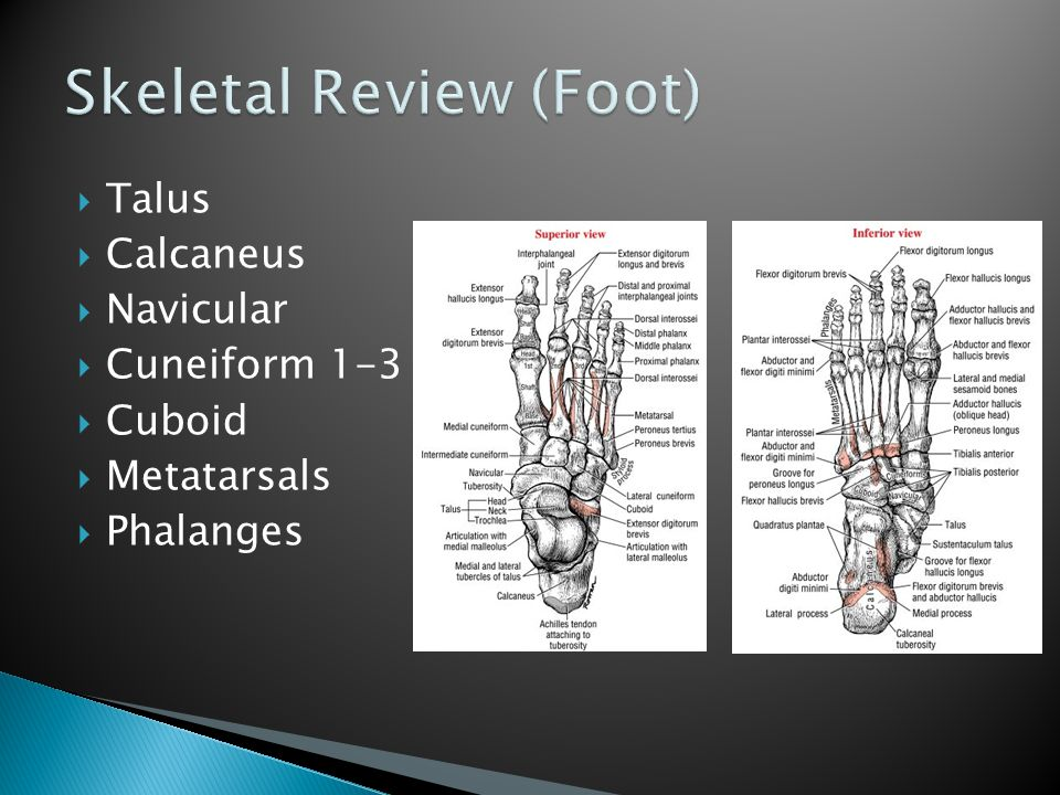  O: lateral condyle of tibia, head and proximal ¾ of anterior surface on body of fibula, proximal portion of the interosseous membrane, deep fascia and intermuscular septa  I: divides into 4 tendons, inserts on dorsal surfaces of the bases of the middle and distal phalanges of the 2 nd -5 th toes.