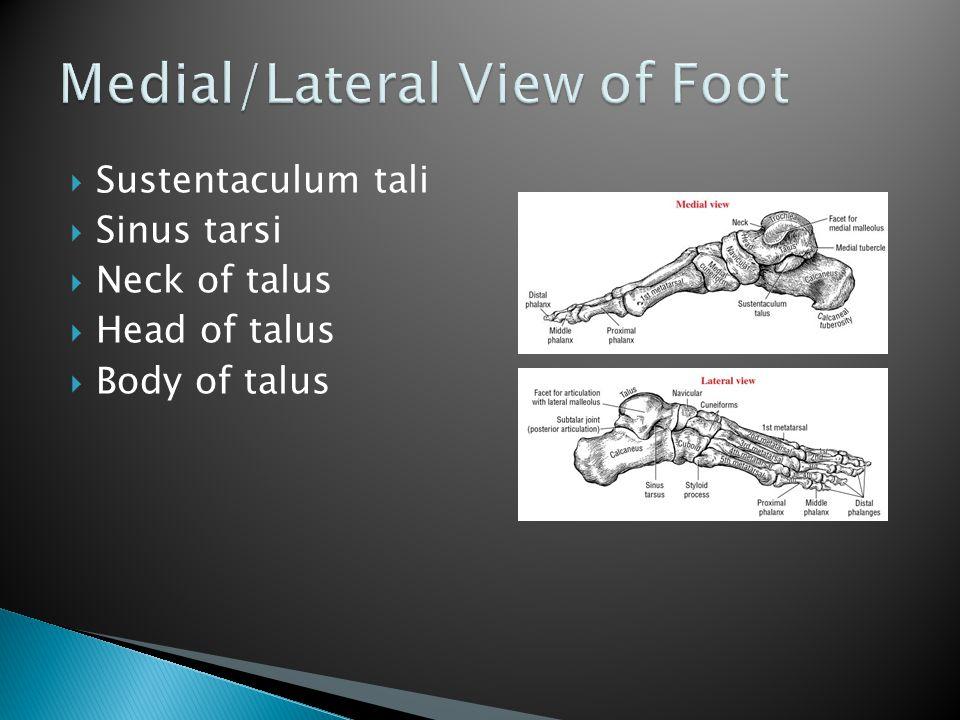  Sustentaculum tali  Sinus tarsi  Neck of talus  Head of talus  Body of talus