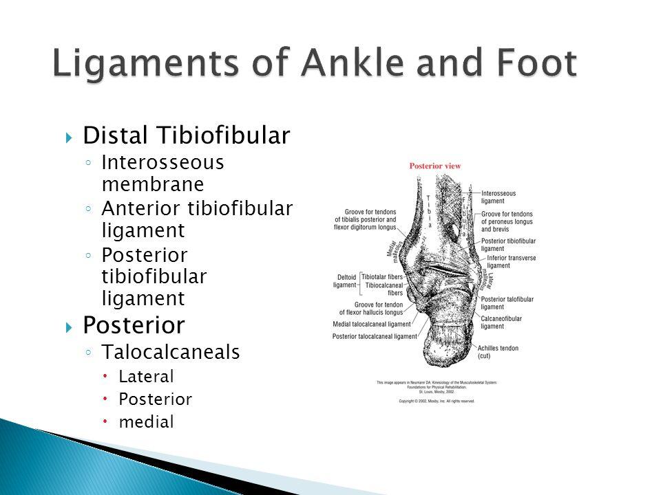  Distal Tibiofibular ◦ Interosseous membrane ◦ Anterior tibiofibular ligament ◦ Posterior tibiofibular ligament  Posterior ◦ Talocalcaneals  Latera