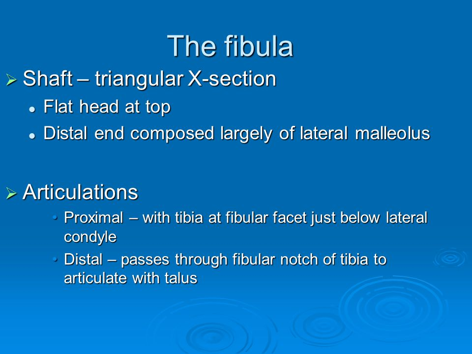 The fibula  Shaft – triangular X-section Flat head at top Flat head at top Distal end composed largely of lateral malleolus Distal end composed largely of lateral malleolus  Articulations Proximal – with tibia at fibular facet just below lateral condyleProximal – with tibia at fibular facet just below lateral condyle Distal – passes through fibular notch of tibia to articulate with talusDistal – passes through fibular notch of tibia to articulate with talus