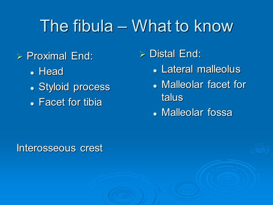 The fibula – What to know  Proximal End: Head Head Styloid process Styloid process Facet for tibia Facet for tibia Interosseous crest  Distal End: Lateral malleolus Malleolar facet for talus Malleolar fossa