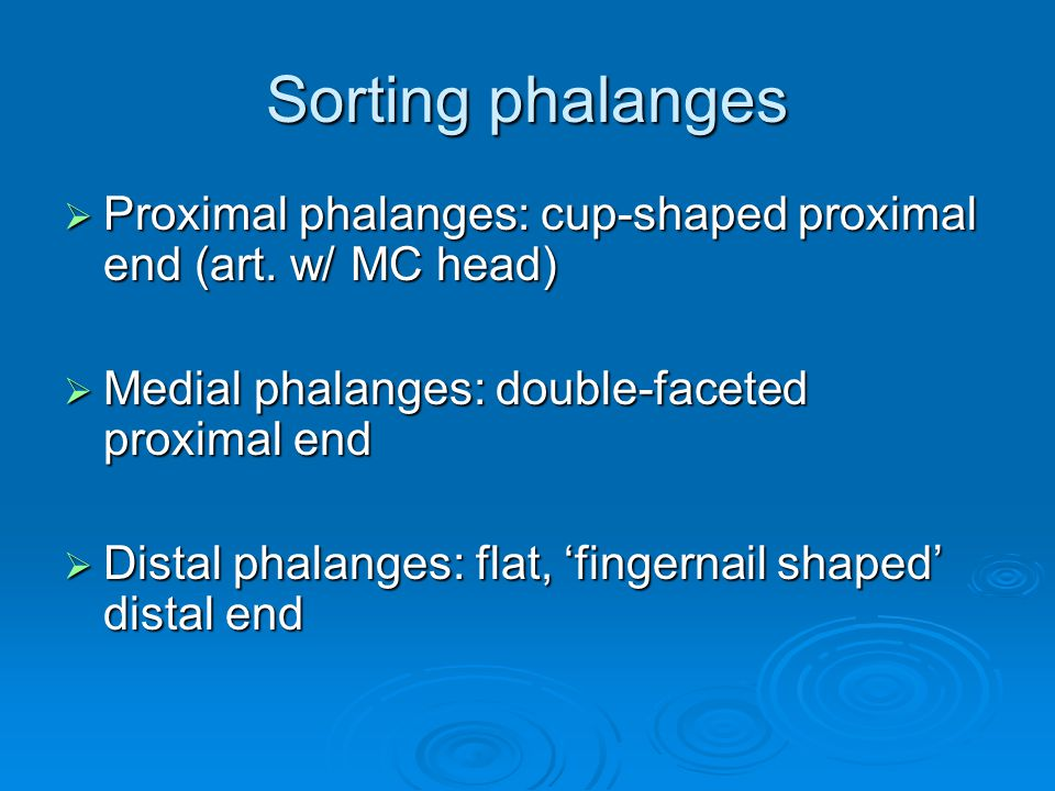 Sorting phalanges  Proximal phalanges: cup-shaped proximal end (art.