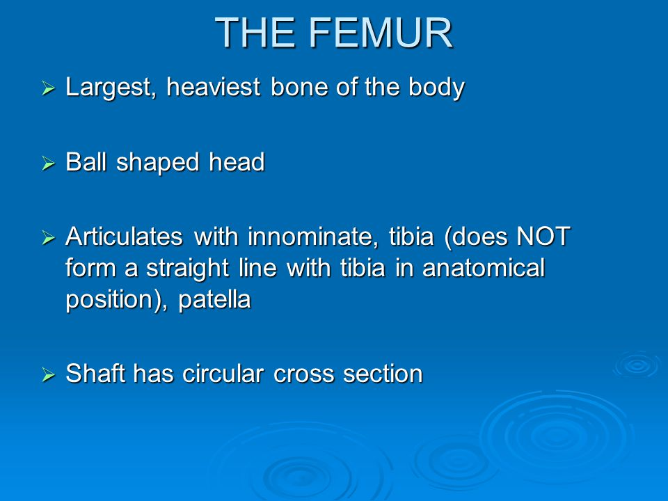 THE FEMUR  Largest, heaviest bone of the body  Ball shaped head  Articulates with innominate, tibia (does NOT form a straight line with tibia in anatomical position), patella  Shaft has circular cross section