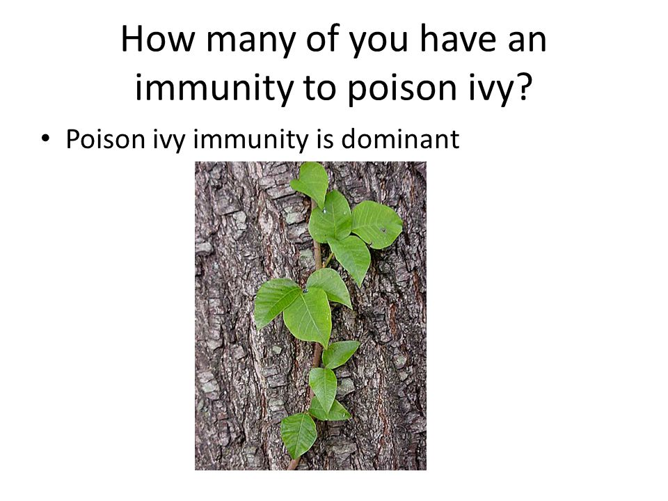 How many of you have an immunity to poison ivy? Poison ivy immunity is dominant