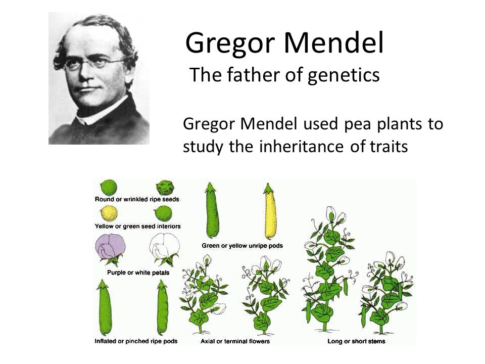 Gregor Mendel The father of genetics Gregor Mendel used pea plants to study the inheritance of traits