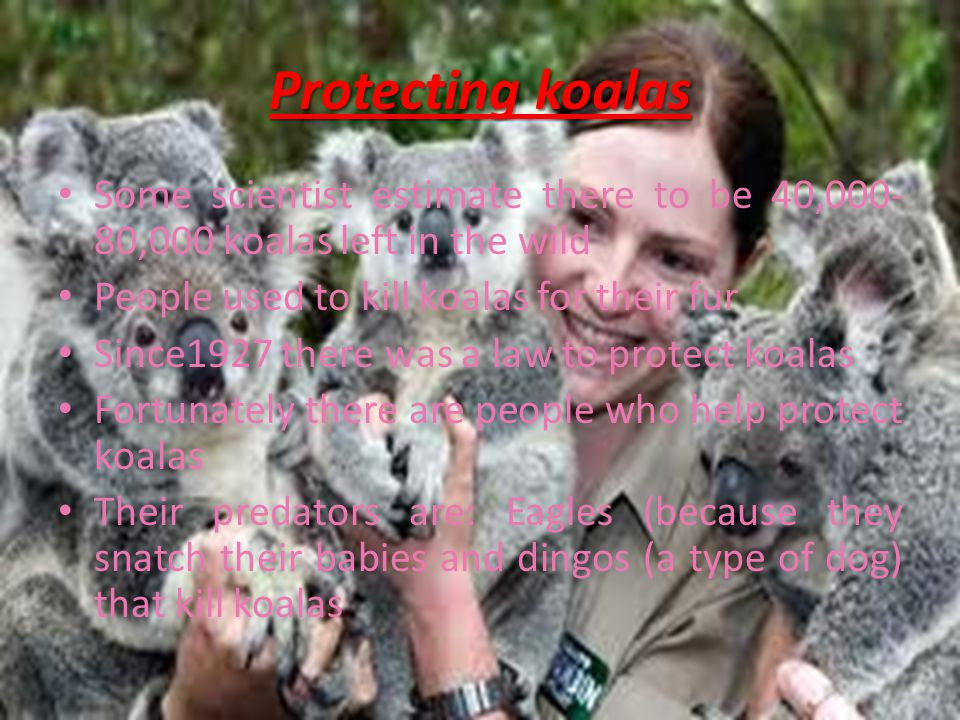 Protecting koalas Some scientist estimate there to be 40,000- 80,000 koalas left in the wild People used to kill koalas for their fur Since1927 there