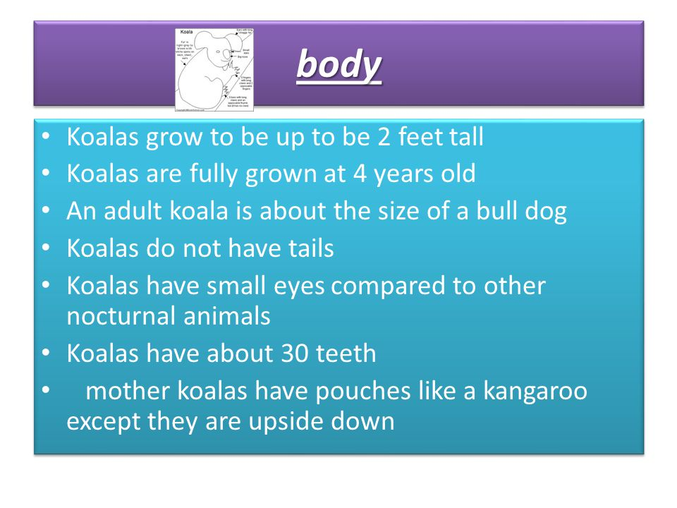 Koalas grow to be up to be 2 feet tall Koalas are fully grown at 4 years old An adult koala is about the size of a bull dog Koalas do not have tails K