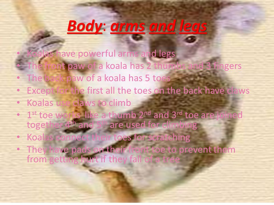Bodyarmsandlegs Body: arms and legs Koalas have powerful arms and legs The front paw of a koala has 2 thumbs and 3 fingers The back paw of a koala has