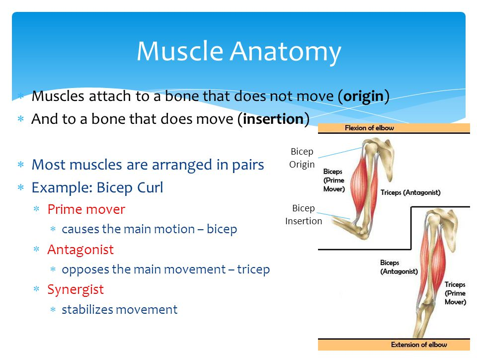  Muscles attach to a bone that does not move (origin)  And to a bone that does move (insertion)  Most muscles are arranged in pairs  Example: Bicep Curl  Prime mover  causes the main motion – bicep  Antagonist  opposes the main movement – tricep  Synergist  stabilizes movement Muscle Anatomy Bicep Origin Bicep Insertion