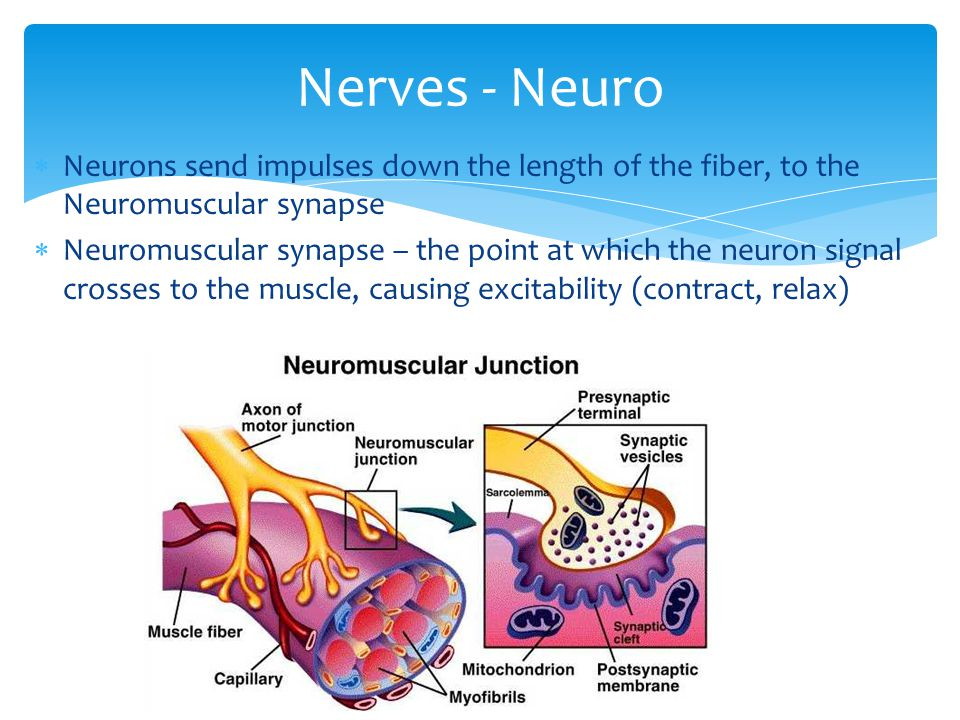  Neurons send impulses down the length of the fiber, to the Neuromuscular synapse  Neuromuscular synapse – the point at which the neuron signal crosses to the muscle, causing excitability (contract, relax) Nerves - Neuro