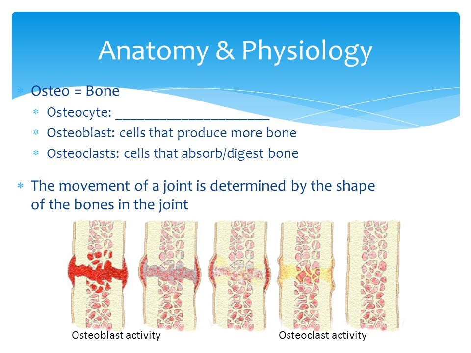  Osteo = Bone  Osteocyte: _____________________  Osteoblast: cells that produce more bone  Osteoclasts: cells that absorb/digest bone  The movement of a joint is determined by the shape of the bones in the joint Anatomy & Physiology Osteoblast activity Osteoclast activity