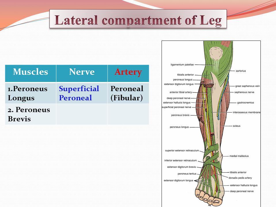 MusclesNerveArtery 1.Peroneus Longus Superficial Peroneal Peroneal (Fibular) 2. Peroneus Brevis