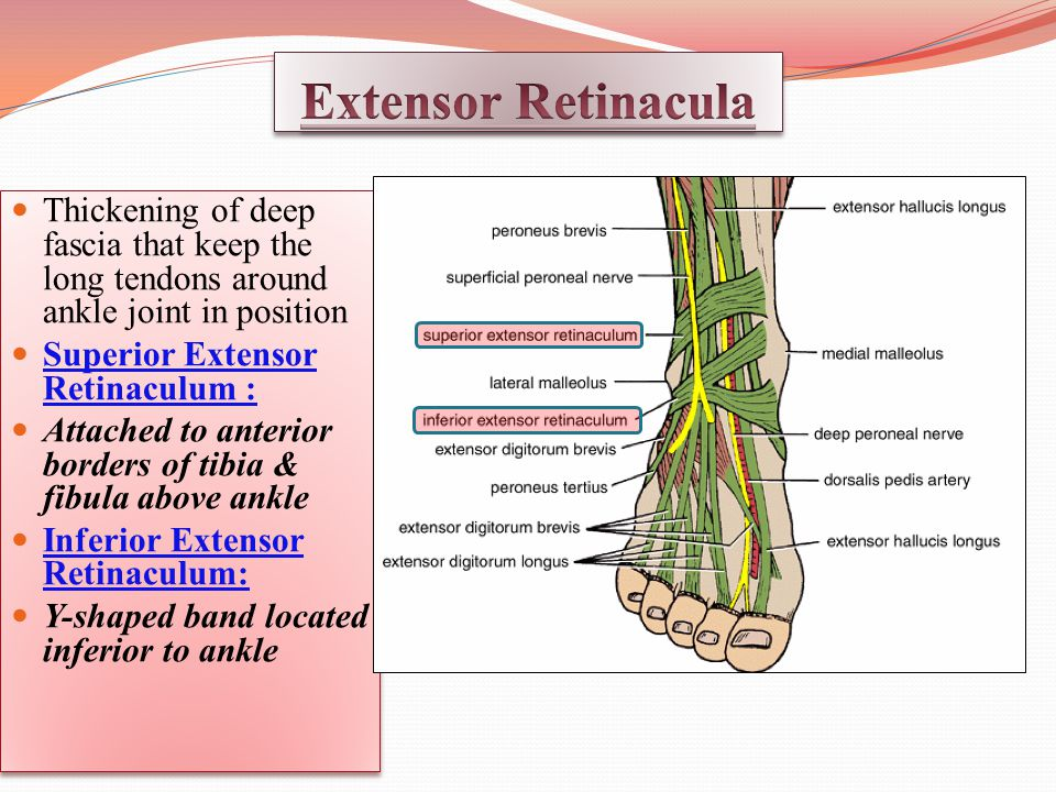 Thickening of deep fascia that keep the long tendons around ankle joint in position Superior Extensor Retinaculum : Attached to anterior borders of tibia & fibula above ankle Inferior Extensor Retinaculum: Y-shaped band located inferior to ankle Thickening of deep fascia that keep the long tendons around ankle joint in position Superior Extensor Retinaculum : Attached to anterior borders of tibia & fibula above ankle Inferior Extensor Retinaculum: Y-shaped band located inferior to ankle