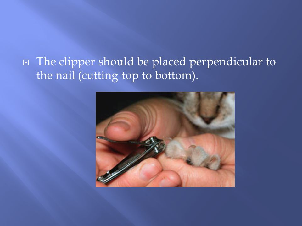  The clipper should be placed perpendicular to the nail (cutting top to bottom).