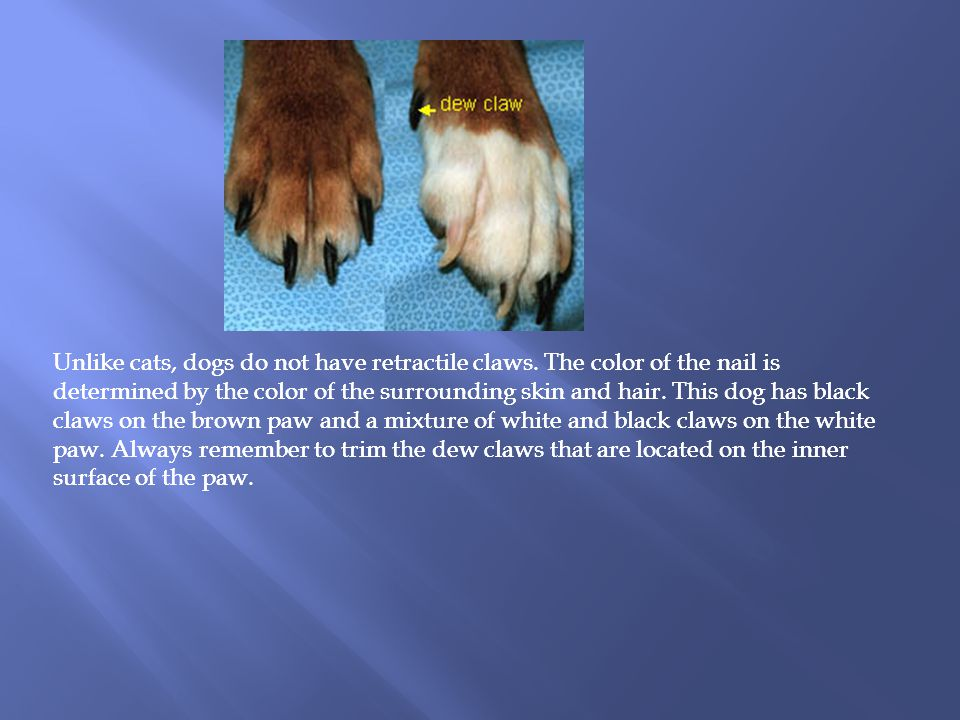 Unlike cats, dogs do not have retractile claws.