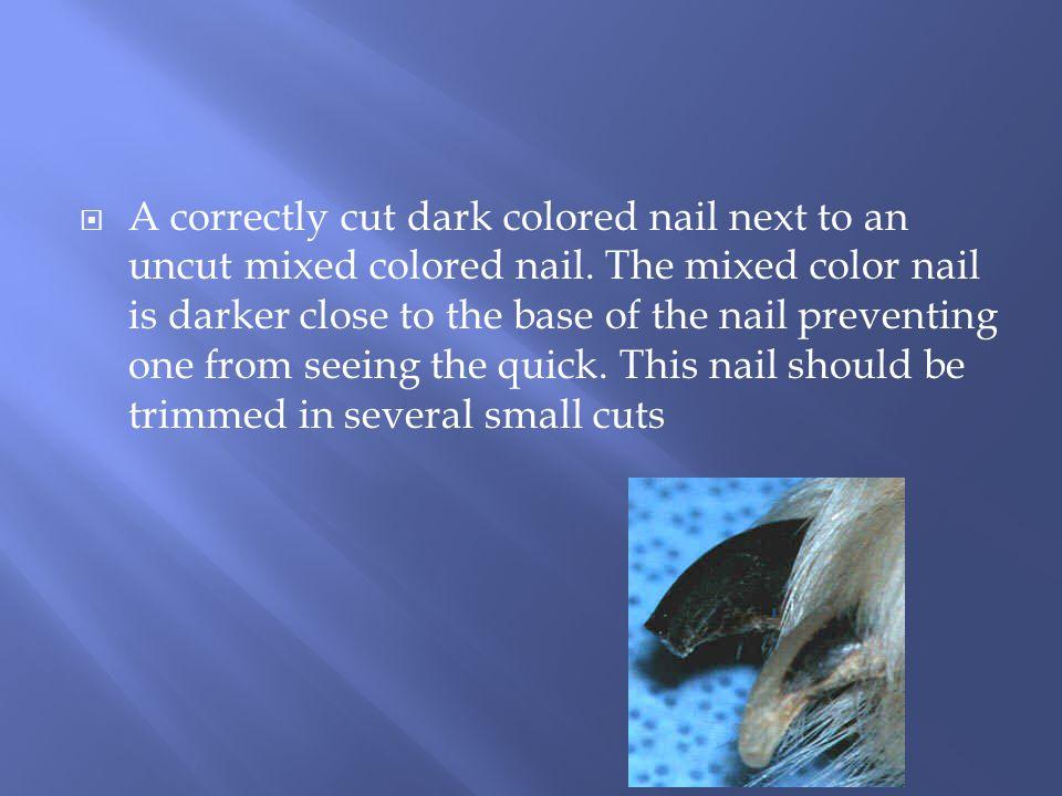 A correctly cut dark colored nail next to an uncut mixed colored nail.