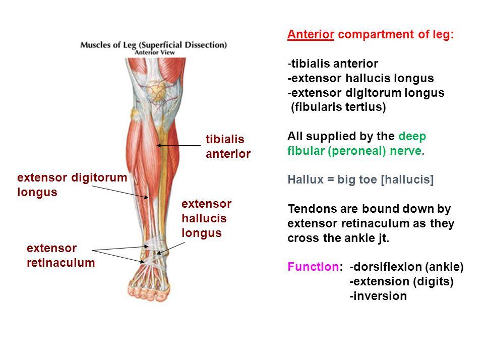 Anterior compartment of leg: -tibialis anterior -extensor hallucis longus -extensor digitorum longus (fibularis tertius) All supplied by the deep fibu