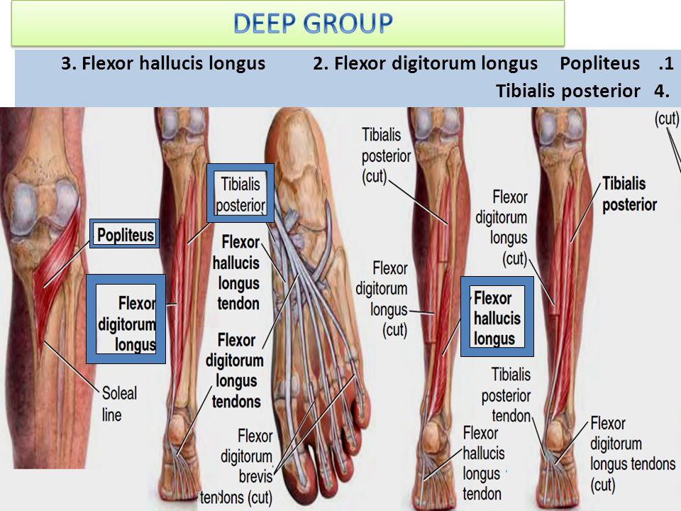 1.Popliteus 2. Flexor digitorum longus 3. Flexor hallucis longus 4. Tibialis posterior