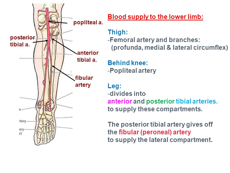 Blood supply to the lower limb: Thigh: -Femoral artery and branches: (profunda, medial & lateral circumflex) Behind knee: -Popliteal artery Leg: -divides into anterior and posterior tibial arteries.
