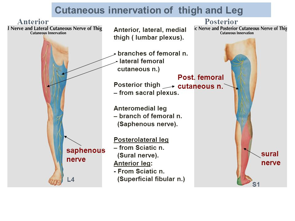 AnteriorPosterior Anterior, lateral, medial thigh ( lumbar plexus). - branches of femoral n. - lateral femoral cutaneous n.) Posterior thigh – from sa