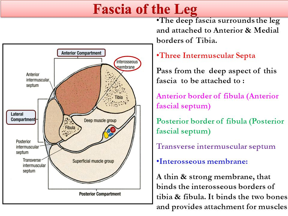 The deep fascia surrounds the leg and attached to Anterior & Medial borders of Tibia.