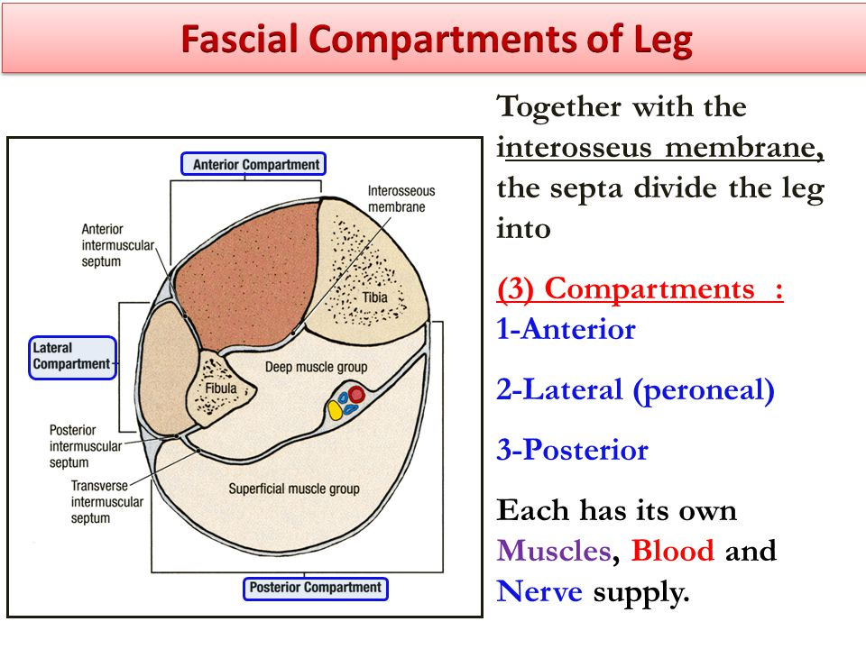 Together with the interosseus membrane, the septa divide the leg into (3) Compartments : 1-Anterior 2-Lateral (peroneal) 3-Posterior Each has its own Muscles, Blood and Nerve supply.