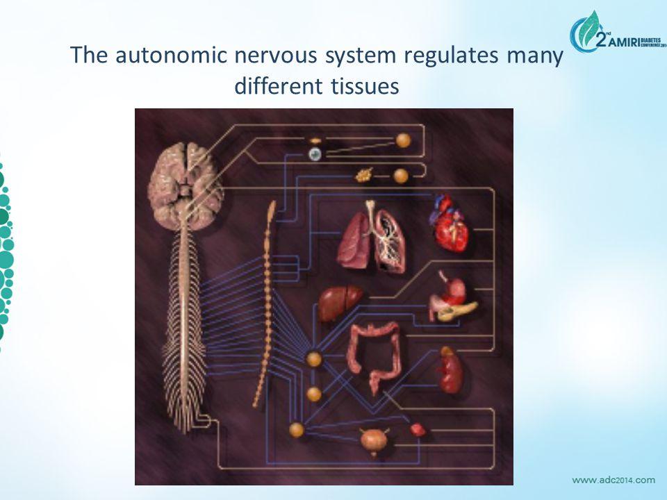 The autonomic nervous system regulates many different tissues