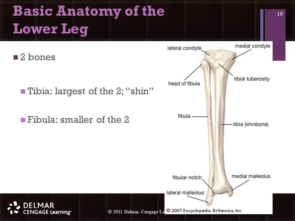 © 2010 Delmar, Cengage Learning 10 © 2011 Delmar, Cengage Learning Basic Anatomy of the Lower Leg 2 bones Tibia: largest of the 2; shin Fibula: smaller of the 2 10