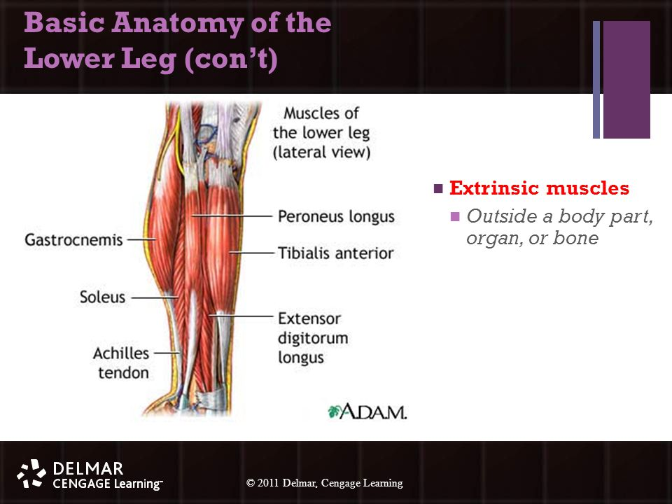 © 2010 Delmar, Cengage Learning 13 © 2011 Delmar, Cengage Learning Basic Anatomy of the Lower Leg (con't) Extrinsic muscles Outside a body part, organ, or bone