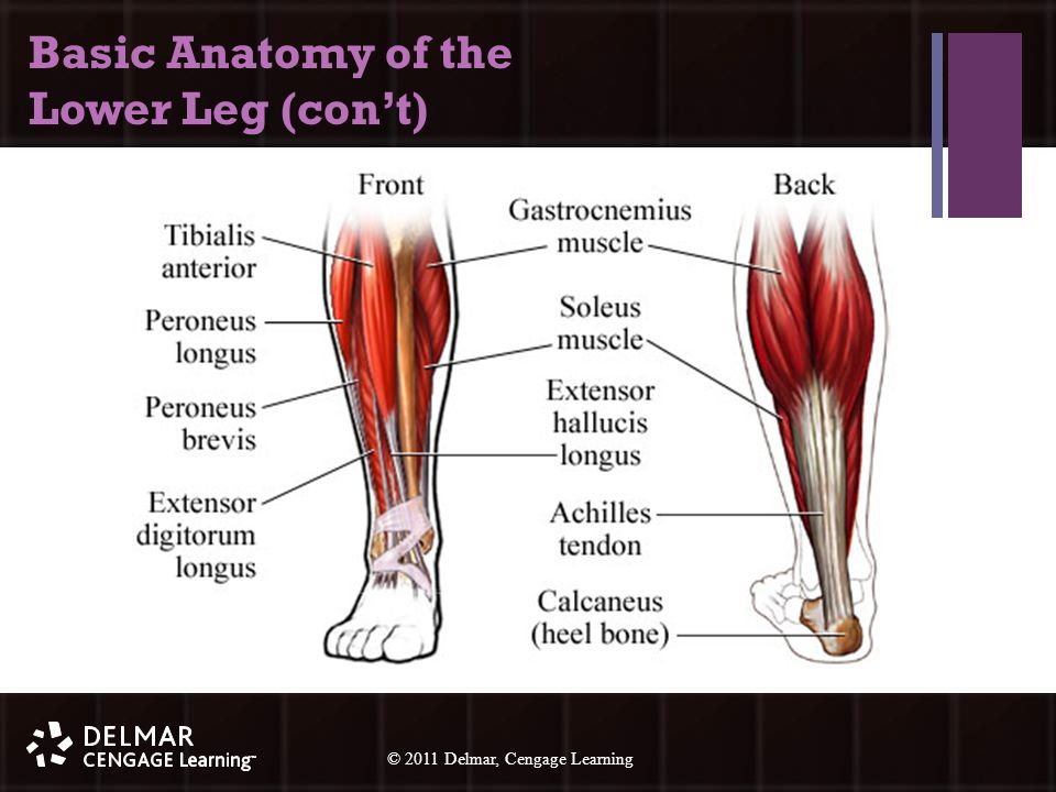 © 2010 Delmar, Cengage Learning 14 © 2011 Delmar, Cengage Learning Basic Anatomy of the Lower Leg (con't)