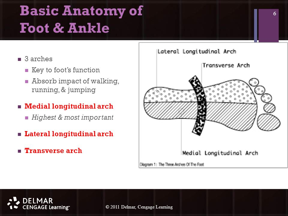© 2010 Delmar, Cengage Learning 6 © 2011 Delmar, Cengage Learning Basic Anatomy of Foot & Ankle 3 arches Key to foot's function Absorb impact of walking, running, & jumping Medial longitudinal arch Highest & most important Lateral longitudinal arch Transverse arch 6