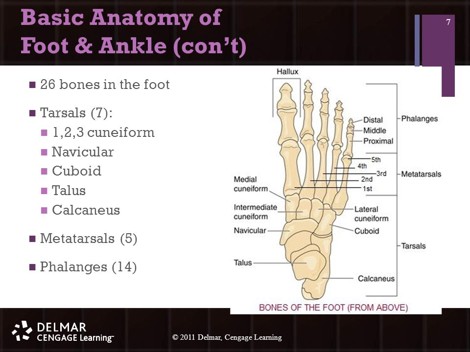 © 2010 Delmar, Cengage Learning 8 © 2011 Delmar, Cengage Learning Basic Anatomy of Foot & Ankle (con't) 2 main ankle joints Talocrural (talus, tibia, fibula) Subtalar (talus, calcaneus) Medial malleolus Distal end of tibia Lateral malleolus Distal end of fibula 8
