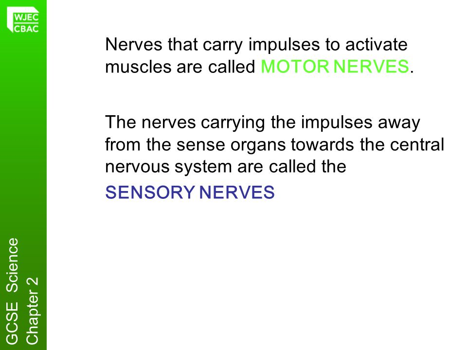 Synapses Nerve cells never really touch one another, because there is always a tiny space between them.