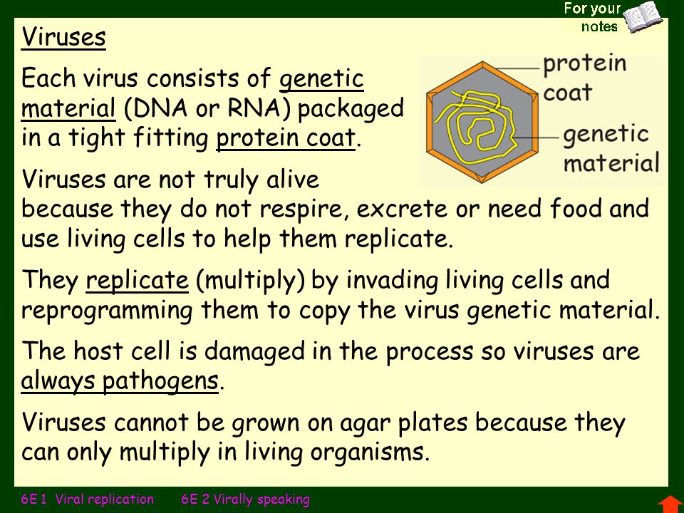Viruses Each virus consists of genetic material (DNA or RNA) packaged in a tight fitting protein coat.