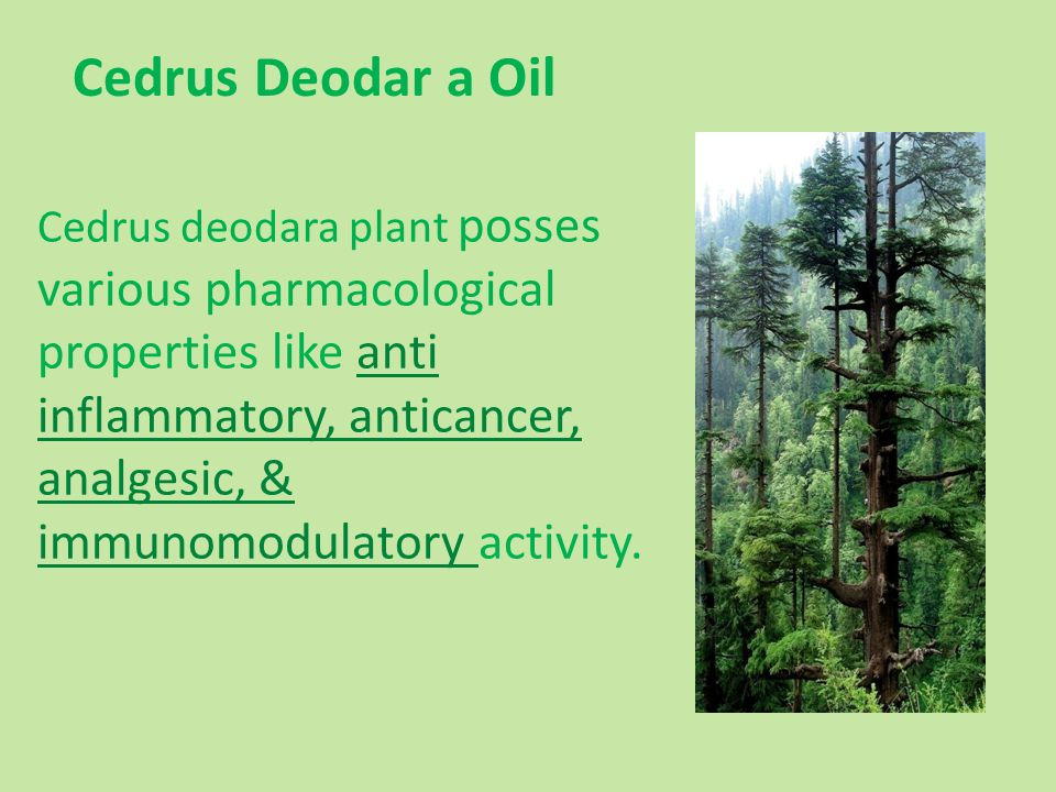 Cedrus deodara plant posses various pharmacological properties like anti inflammatory, anticancer, analgesic, & immunomodulatory activity. Cedrus Deod