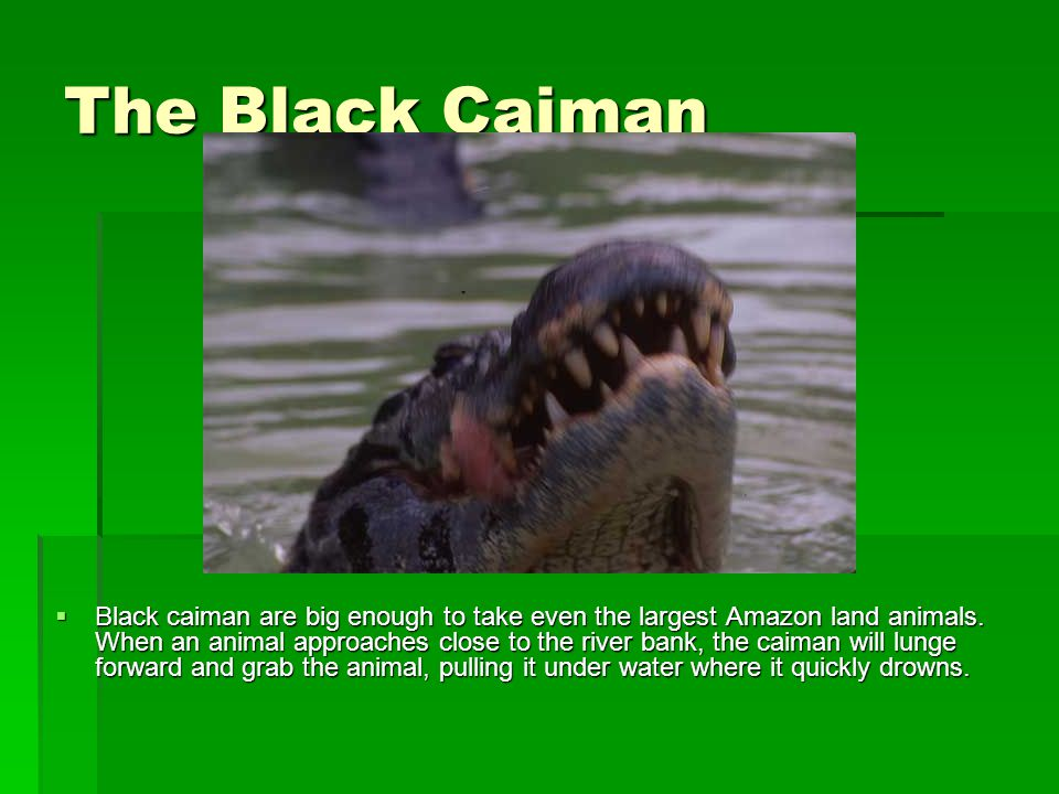 The Black Caiman  Black caiman are big enough to take even the largest Amazon land animals. When an animal approaches close to the river bank, the ca