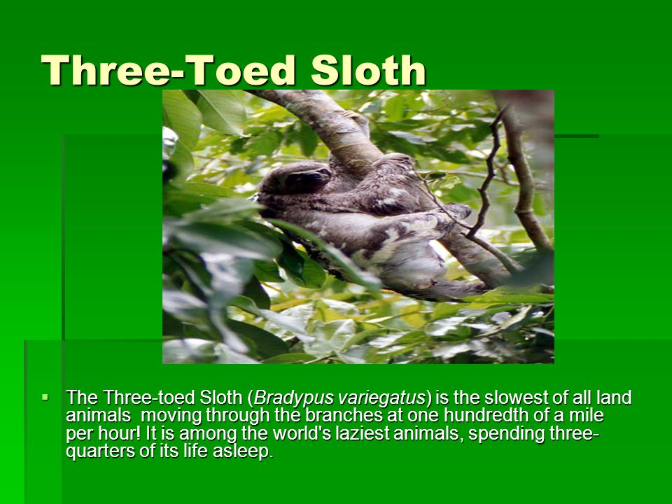 Three-Toed Sloth  The Three-toed Sloth (Bradypus variegatus) is the slowest of all land animals ­ moving through the branches at one hundredth of a mile per hour.