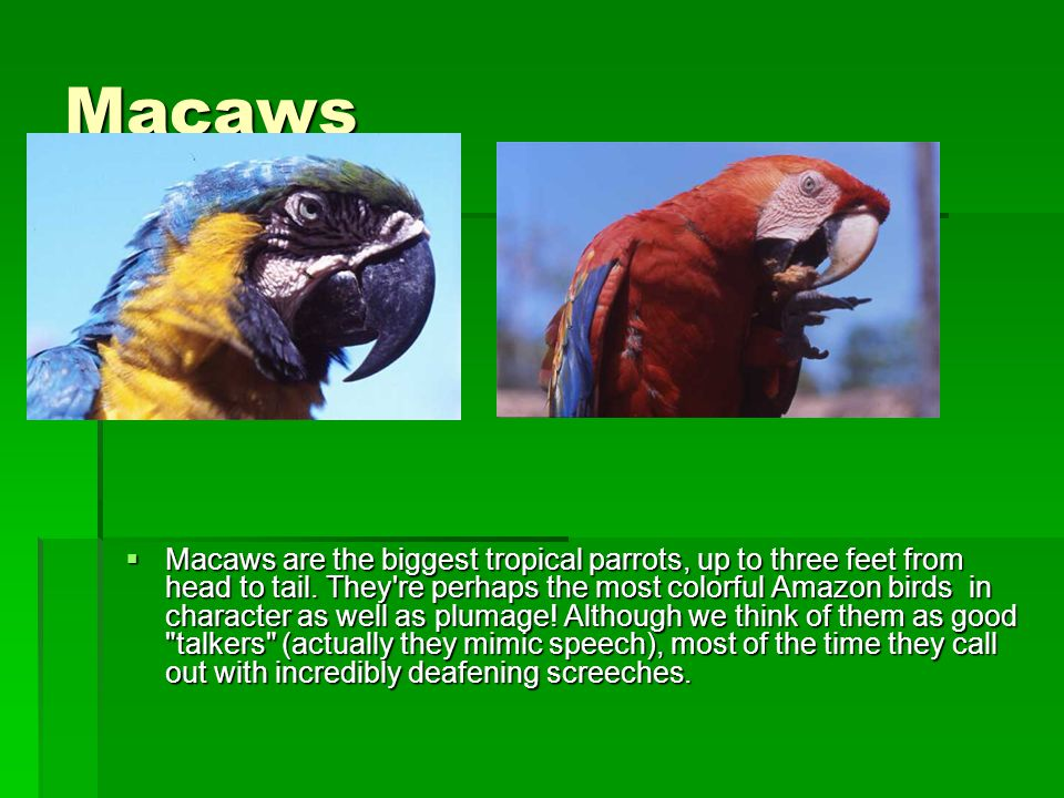 Macaws  Macaws are the biggest tropical parrots, up to three feet from head to tail.