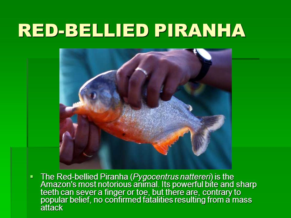 RED-BELLIED PIRANHA  The Red-bellied Piranha (Pygocentrus nattereri) is the Amazon s most notorious animal.