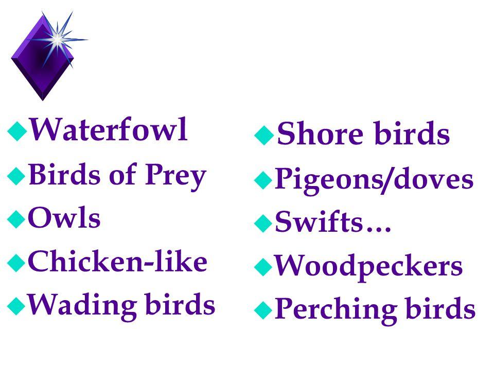 u Waterfowl u Birds of Prey u Owls u Chicken-like u Wading birds u Shore birds u Pigeons/doves u Swifts… u Woodpeckers u Perching birds