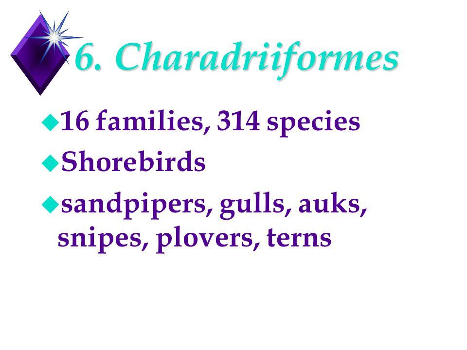 6. Charadriiformes u 16 families, 314 species u Shorebirds u sandpipers, gulls, auks, snipes, plovers, terns