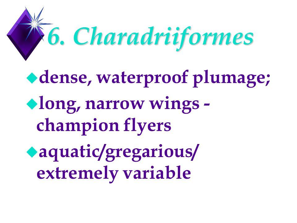 6. Charadriiformes u dense, waterproof plumage; u long, narrow wings - champion flyers u aquatic/gregarious/ extremely variable